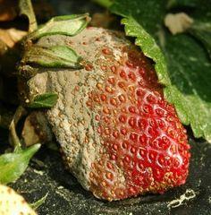 Eper, szamóca betegségek - gazigazito.hu Strawberry, Fruit, Strawberry Fruit, Strawberries, Strawberry Plant