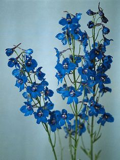 Check out the deal on Delphinium grandiflorum Blue Mirror 500 seeds at Hazzards Seeds Blue Garden, Garden Pond, Delphinium Plant, Delphiniums, Cut Flowers, Colorful Flowers, Perennial Vegetables, Deer Resistant Plants, Trapper Keeper