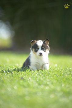 Corgi puppies for sale paducah ky