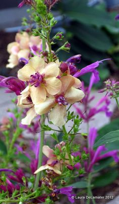 Verbascum - 'Southern Charm' and Agastache (Hummingbird mint) - 'Ava'