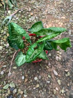 Variegated Plants, Godzilla, Houseplants, Indoor Plants, Plant Leaves, Succulents, Flower Gardening, Muse, Flowers