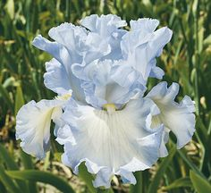 Schreiner's Iris Gardens grows high quality bearded and beardless iris rhizomes for your landscape design. Excellent customer service answers your iris growing questions. We ship iris worldwide at the right time for planting. Iris Flowers, Bulb Flowers, Exotic Flowers, Planting Flowers, Beautiful Flowers, White Flowers, Simple Flowers, Flowers Garden, Tropical Flowers