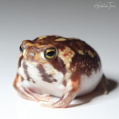 Frog Pictures, Animal Pictures, Pet Frogs, Frog Art, Frog And Toad, Reptiles And Amphibians, Cute Baby Animals, Character Design, Kawaii