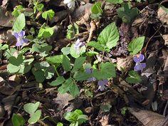 lehto-orvokki Finland, Planting Flowers, Natural Beauty, World, Nature, Plants, Naturaleza, The World, Plant