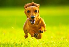 9 Spunky Facts About Dachshunds | Mental Floss