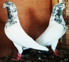 How and we're can I purchase this paie? Pigeon Pictures, Baby Pictures, High Flying Pigeons, Pakistani Pigeon, Pigeon Loft, Dove Pigeon, Baby Month By Month, Monthly Baby, Birds
