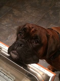 """Thought I'd help clean up crumbs!"" #dogs #pets #Boxers Facebook.com/sodoggonefunny"