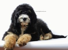Adorable Bernedoodle Bernese Mountain Dog + Standard Poodle Dream come true!