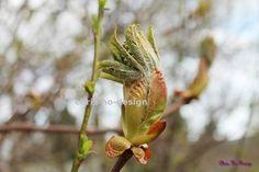 Kastanje i utfoldelse - foto str. A4, Plants, Design, Plant, Planets