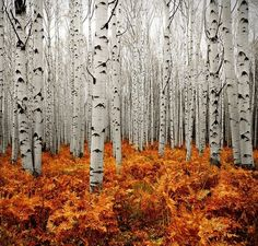 Aspen forest in CO // 17 Beautiful Sites You Have To See Before You Die