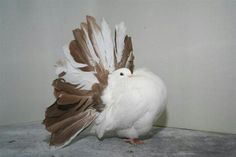 Best Tail Mark Red\Yellow Fantail Pigeon, Animals And Pets, Cute Animals, Pigeon Pictures, Pigeon Breeds, Pigeon Bird, Archery Bows, Cute Birds, Nests