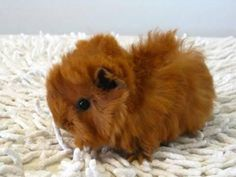 gorgeous guinea pig baby