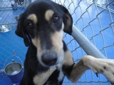 #URGENT: Jilly is an #adoptable #Hound #Dog in #NewKent, #VIRGINIA. URGENT: POUND IS FULL OF BEAGLES, HOUNDS & MIXES - ALL GOOD DOGS NEEDING HOMES, RESCUE OR ADOPTION ASAP. PLEASE SHARE WITH ANYONE WHO MAY HEL...