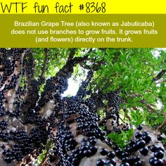 Brazilian Grape Tree  WTF fun facts
