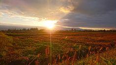 朝日に輝くエノコログサとチカラシバ