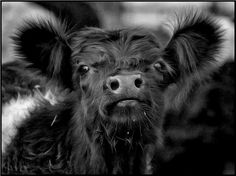 """Belted Galloway Calf, I like the stripe on the """"Belties"""""""