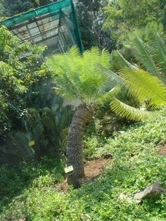 E Inopinus Living Fossil, Tropical Gardens, Fossils, Palm Trees, South Africa, Home And Garden, Beautiful, Landscaping, Palmas