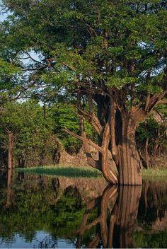 Árvore amazônica