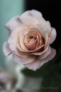 """""""A rose by any other name would smell as sweet"""" -Juliet"""