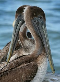 Seen 2010 Florida cocoa beach  American Brown Pelicans