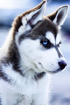 Beautiful Siberian husky                                                                                                                                                                                 More