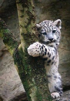 baby snow leopard cub or somewhere in the big cat family so cute Big Cats, Cats And Kittens, Cute Cats, Nature Animals, Animals And Pets, Wild Animals, Beautiful Cats, Animals Beautiful, Beautiful Things