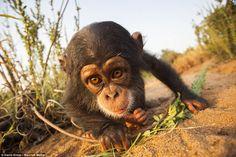 An inquisitive chimpanzee clutching a stick