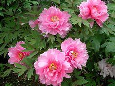 Peony Flower, Blossom Flower, Flower Art, Spring Blooms, Spring Flowers, Watercolor Flowers, Beautiful Flowers, Plants, Photos
