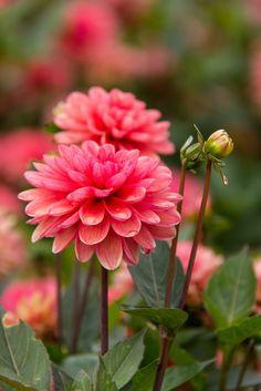 Pink Dahlias by Sarah Verkaik on 500px