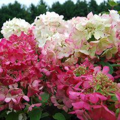 Hydrangea paniculata Diamond Rouge™   White Flower Farm