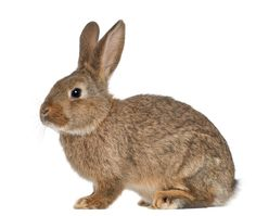Rabbit Facts, History, Useful Information and Amazing Pictures