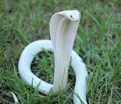 23 Albino Animals So Stunning You Will Literally Gasp 23 Albino Animals So Stun. - 23 Albino Animals So Stunning You Will Literally Gasp 23 Albino Animals So Stun… – – - Les Reptiles, Cute Reptiles, Reptiles And Amphibians, The Animals, Cute Baby Animals, Strange Animals, Spotted Animals, Forest Animals, Pretty Snakes