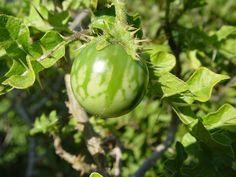 Solanum sodomeum