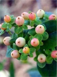 Peach Hypericum: wouldn't these be awesome in the centerpieces/aisle flowers? will have to ask the florist/see how expensive they are