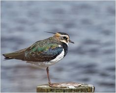 lapwing | Flickr - Photo Sharing!