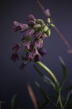 fritillaria persica - perzische keizerskroon