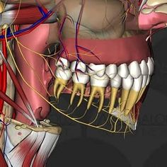 Dental Humor, Dental Hygienist, Dental Anatomy, Orthodontics, Plastic Surgery, Dentistry, Clinic, Teeth, Muscles Of The Neck