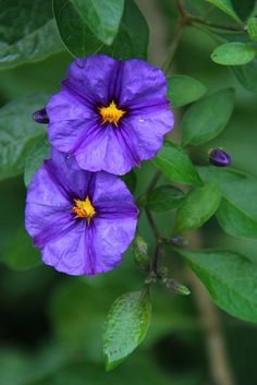 ~~Blue Potato Vine by Black Flowers, Unique Flowers, Amazing Flowers, Beautiful Flowers, Amazing Gardens, Beautiful Gardens, Blue Potatoes, Potato Vines, Indoor Flowers