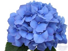 "Cut hydrangea flower ""Pimpernel"" (Blue)"