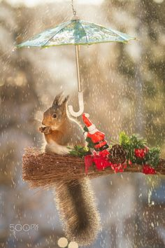 no christmas yet - red squirrel is standing in rain under umbrella by Geert Weggen Cute Squirrel, Squirrels, Squirrel Humor, Animals And Pets, Cute Animals, Squirrel Pictures, Outside Christmas Decorations, Forest Friends, Little Critter