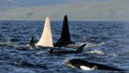 All-white killer whale