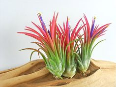 Hey, I found this really awesome Etsy listing at https://www.etsy.com/listing/110276235/air-plant-trio-ionantha-fuego-pack