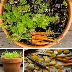 Grow your own carrots in containers from seed to plate. How to grow, harvest and prepare carrots - garden-to-table living, recipes and more!