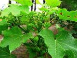 Jarak Pagar (Jatropha curcas)