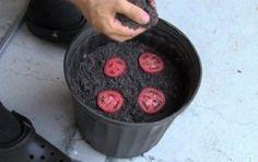 Incrível! Como plantar tomates facilmente - #