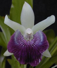 Orchid: Cochleanthes flabelliformis - Found in Jamaica, Honduras, Nicaragua, Venezuela, Colombia and Brazil in relatively undisturbed, wet, montane forests at elevations of 250 to 1200 meters