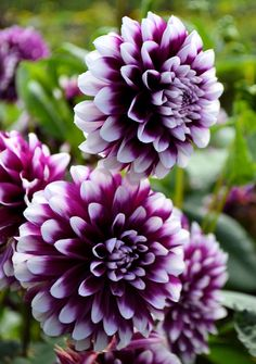 flower garden care Purple flowers are a great way to add interest to your yard or landscape. See some of our favorite purple garden flowers! Flowers Nature, Exotic Flowers, Amazing Flowers, Colorful Flowers, Beautiful Flowers, Purple Flower Names, Purple Flowers, Purple Dahlia, Dahlia Flowers