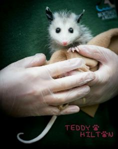 Please Support this FB page...STOP the use of a 'live' opossum at the Brasstown, NC 'Possum Drop'!!!!  Thank you!  https://www.facebook.com/#!/pages/Stop-the-Live-Possum-Drop-in-Brasstown-NC/292670954102309