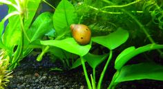 Nerite Snails: Algae Eating, Care, Lifespan, Eggs And Types