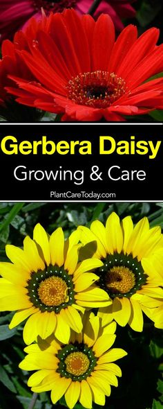 Gerbera Daisy popular indoors and outdoors bright colorful Daisy-like flowers in white yellow orange and salmon single double. [LEARN MORE] Cottage Garden Design, Cottage Garden Plants, Cottage Gardens, Gerbera Daisy Care, Gerber Daisies Care, Daisy Flowers, Cut Flowers, Growing Flowers, Planting Flowers